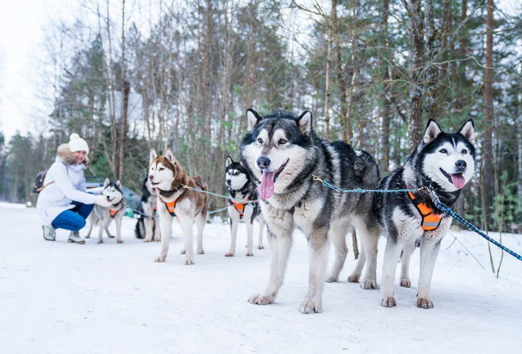 Dog sled team