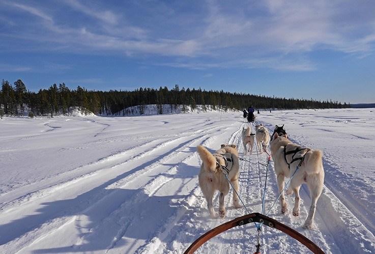 Running dog sled team